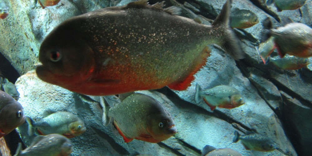 Fisk-i-peru