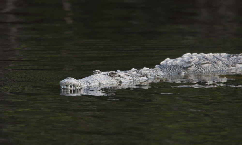 amerikansk-krokodille